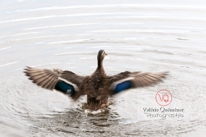 Battement d'ailes de canard colvert femelle - réf : VQA22-0031 (Q2)