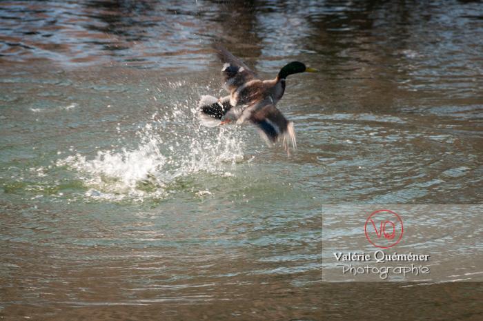 Décollage sur l'eau d'un canard colvert mâle - réf : VQA22-0040 (Q2)