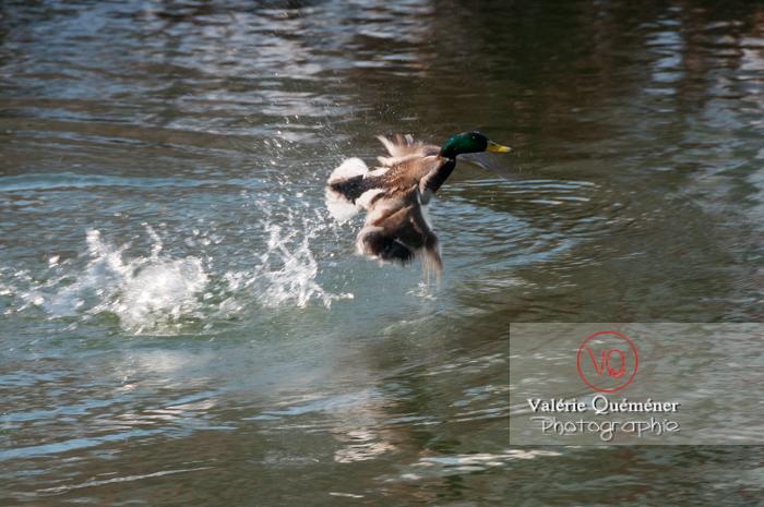Décollage sur l'eau d'un canard colvert mâle - réf : VQA22-0041 (Q2)