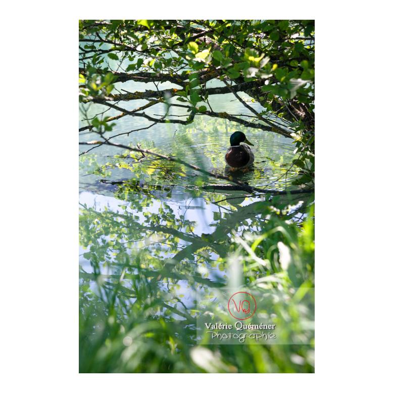Silhouette d'un canard colvert sur l'eau - Réf : VQA22-0064 (Q3)