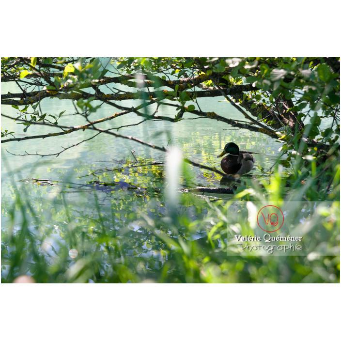 Silhouette d'un canard colvert sur l'eau - Réf : VQA22-0067 (Q3)