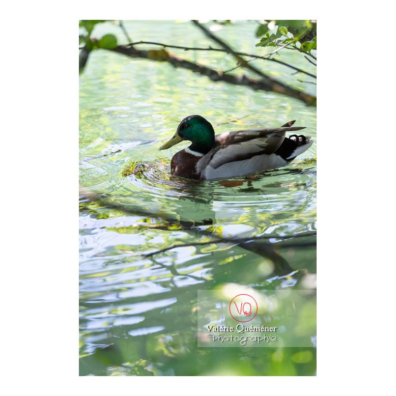 Canard colvert de profil sur l'eau - Réf : VQA22-0069 (Q3)