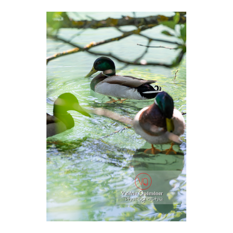 Trois canards colvert sur l'eau - Réf : VQA22-0070 (Q3)