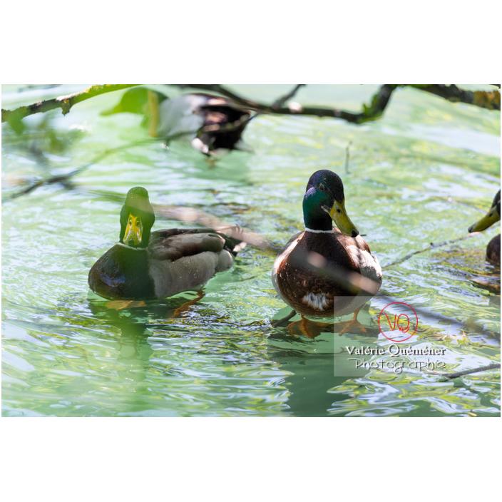 Deux canards colvert sur l'eau - Réf : VQA22-0071 (Q3)