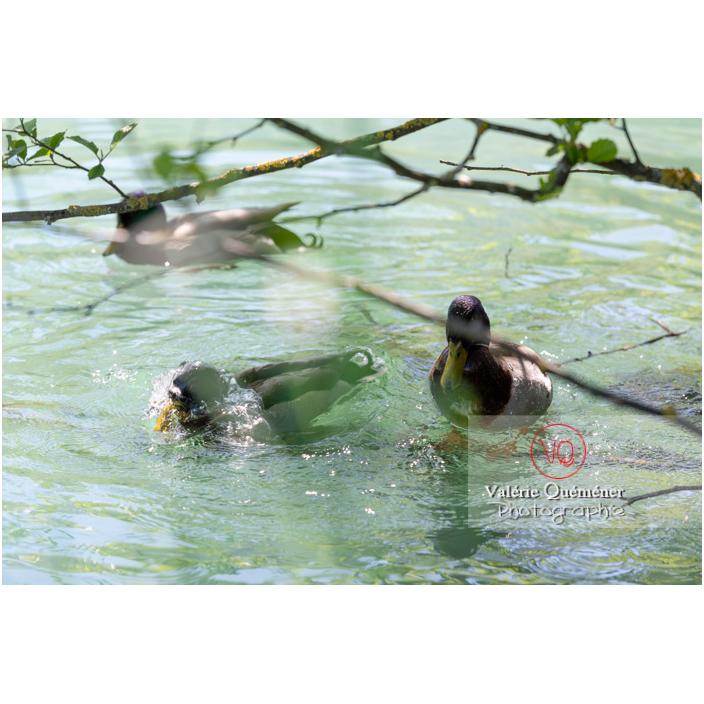 Canards colvert sur l'eau, l'un plongeant la tête sous l'eau - Réf : VQA22-0072 (Q3)