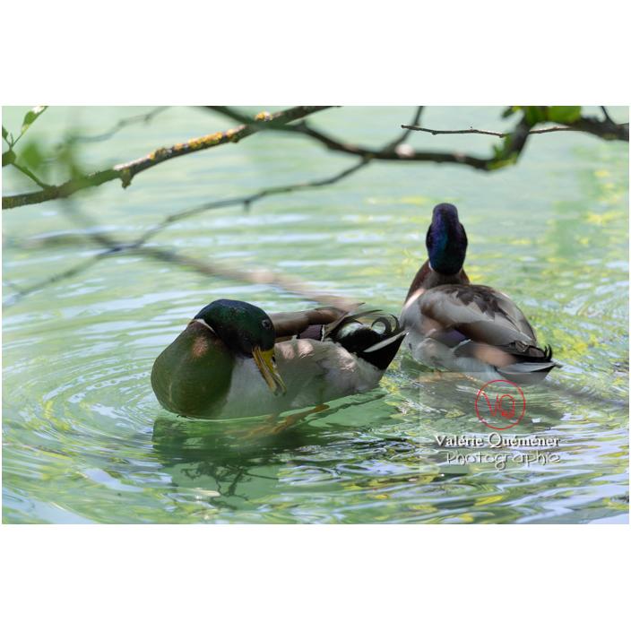 Deux canards colvert sur l'eau, l'un se lissant les plumes - Réf : VQA22-0073 (Q3)