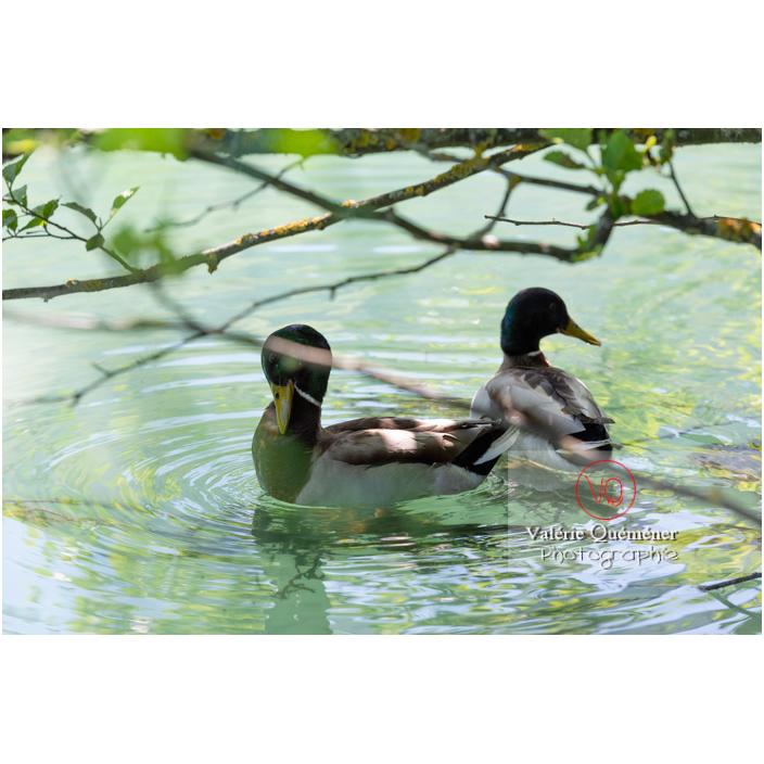 Deux canards colvert sur l'eau - Réf : VQA22-0075 (Q3)