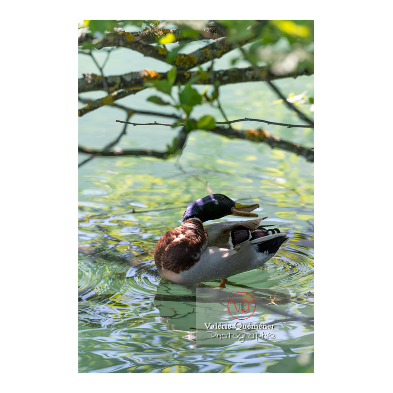 Canard colvert se lissant les plumes - Réf : VQA22-0076 (Q3)