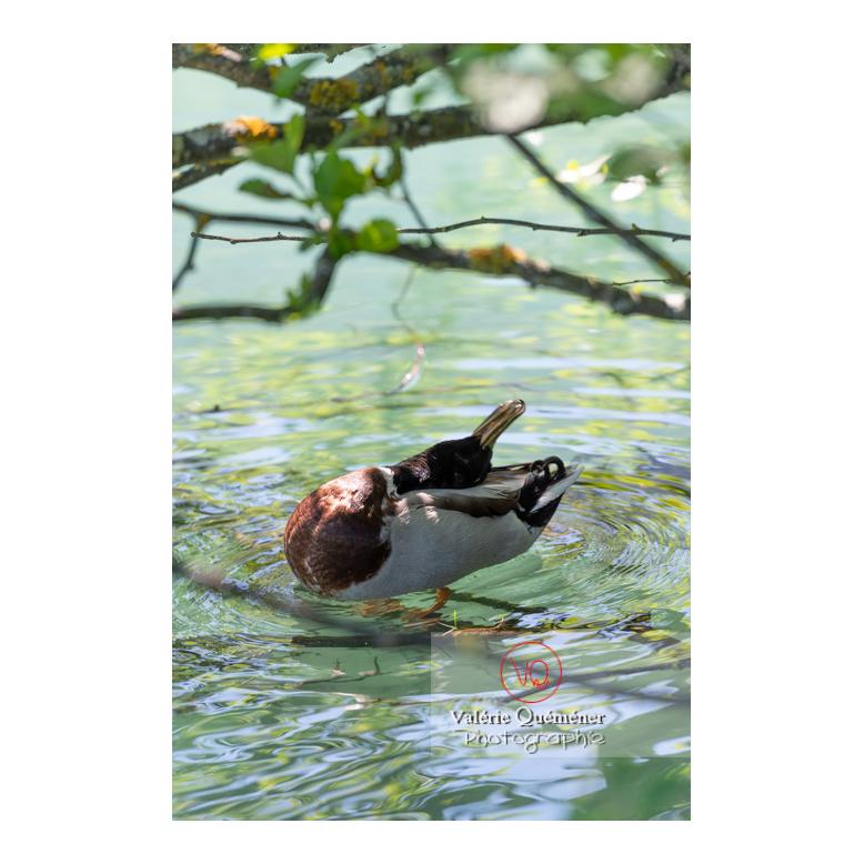 Canard colvert se toilettant la tête - Réf : VQA22-0078 (Q3)
