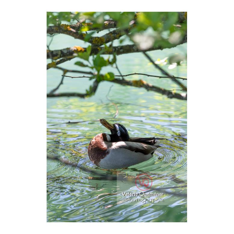 Canard colvert se toilettant la tête - Réf : VQA22-0079 (Q3)