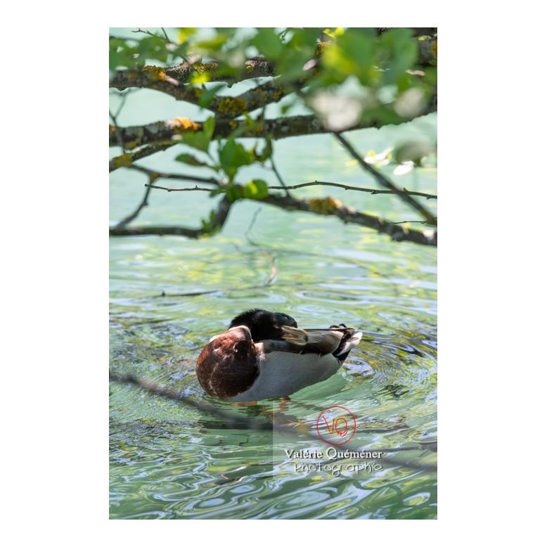 Canard colvert se toilettant la tête - Réf : VQA22-0080 (Q3)