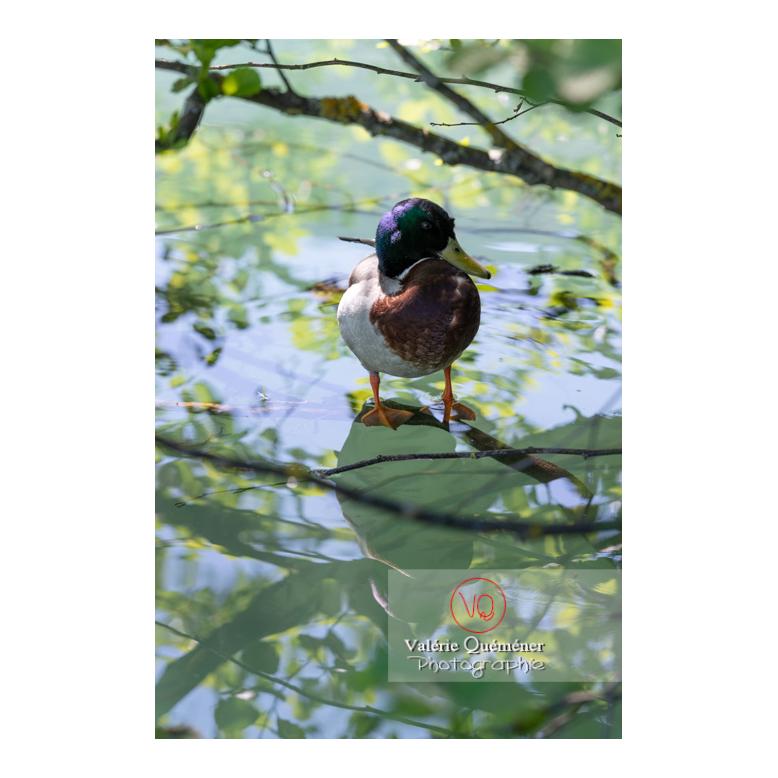 Canard colvert sur une branche sur l'eau - Réf : VQA22-0083 (Q3)