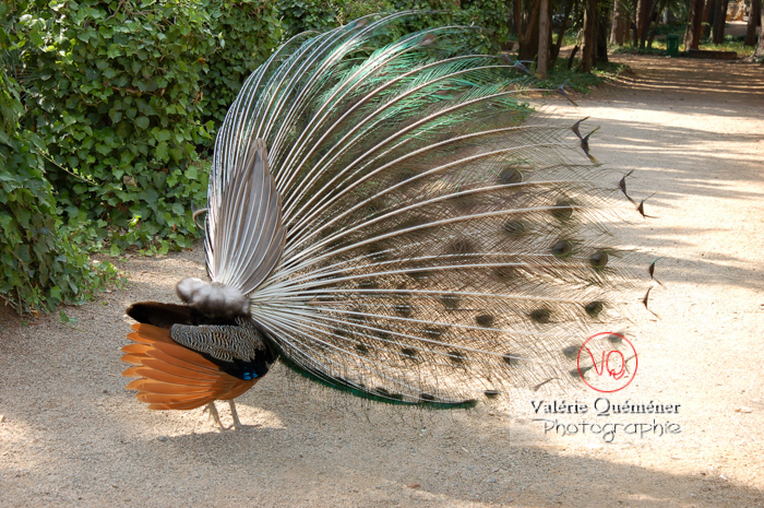 Paon mâle faisant la roue - Réf : VQA23-0010 (Q1)