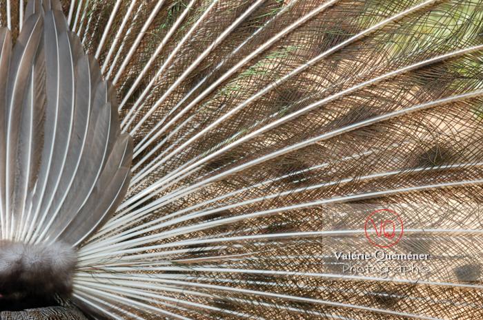 Détail ramage d'un paon mâle faisant la roue - Réf : VQA23-0011 (Q1)