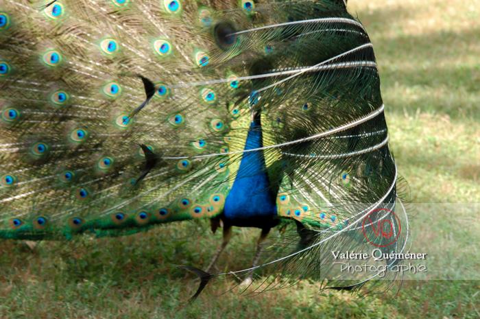 Paon mâle faisant la roue - Réf : VQA23-0015 (Q1)