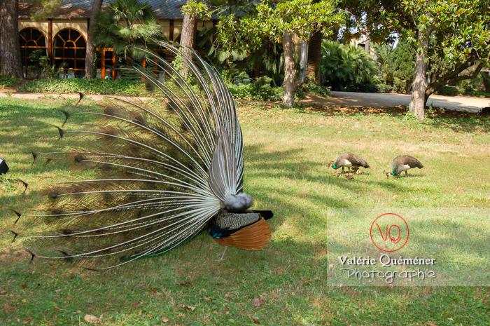 Paon mâle faisant la roue pour protéger sa famille - Réf : VQA23-0017 (Q1)