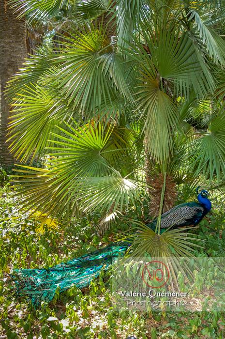 Paon mâle à l'ombre d'un palmier en Espagne - Réf : VQA23-0020 (Q1)