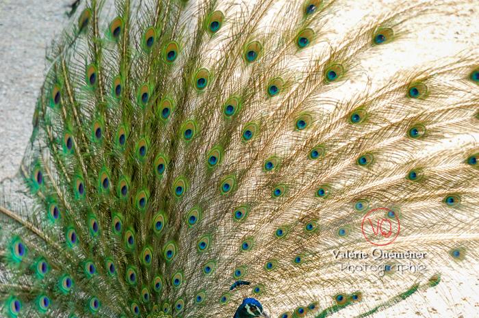 Détail plumes d'un paon mâle faisant la roue - Réf : VQA23-0028 (Q1)