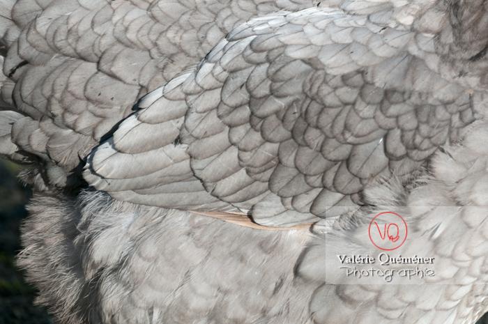 Détail plumes d'une poule de race limousine - Réf : VQA23-0041 (Q2)