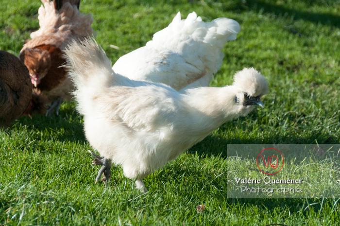 Poule de soie blanche - Réf : VQA23-0049 (Q2)