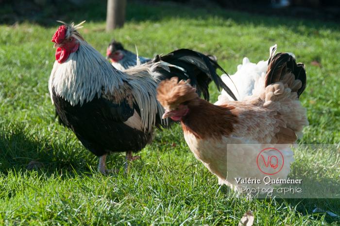 Coq faverolle & poules - Réf : VQA23-0053 (Q2)