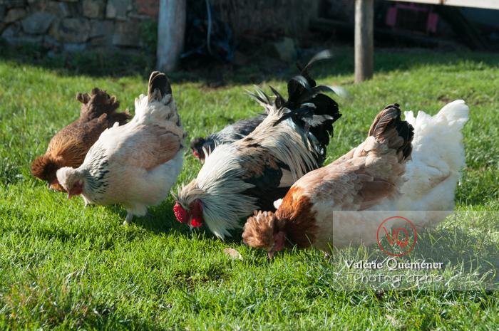 Coq de faverolle & poules dans un jardin - Réf : VQA23-0054 (Q2)