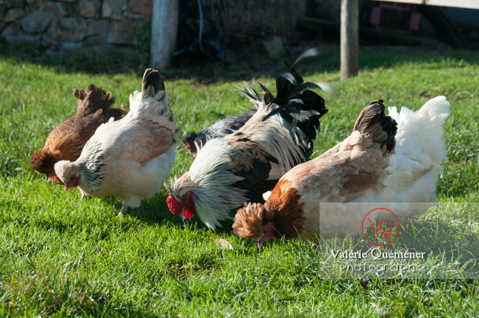 Coq faverolle & poules - Réf : VQA23-0054 (Q2)