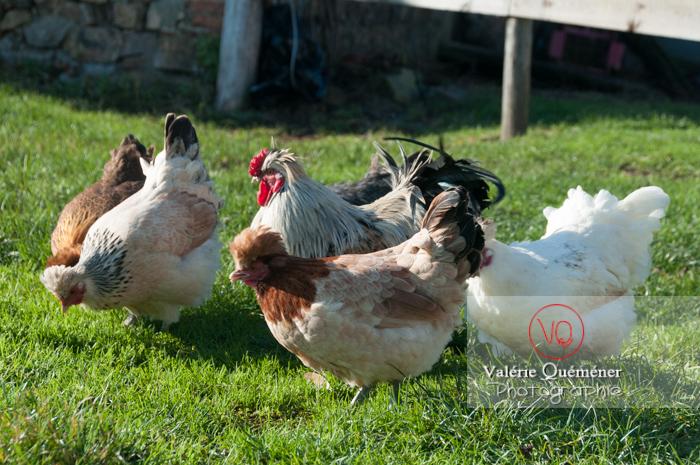 Coq faverolle & poules - Réf : VQA23-0055 (Q2)