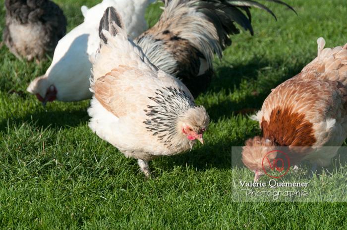 Poule dont poule de Bourbourg - Réf : VQA23-0057 (Q2)