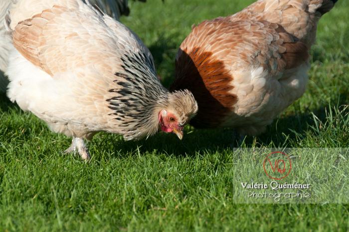 Poules dont poule de Bourbourg dans un jardin - Réf : VQA23-0058 (Q2)