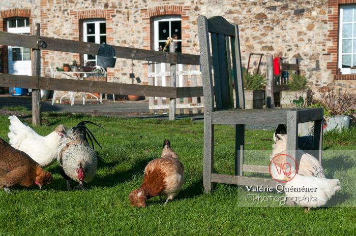 Coq & poules dans un jardin - Réf : VQA23-0062 (Q2)