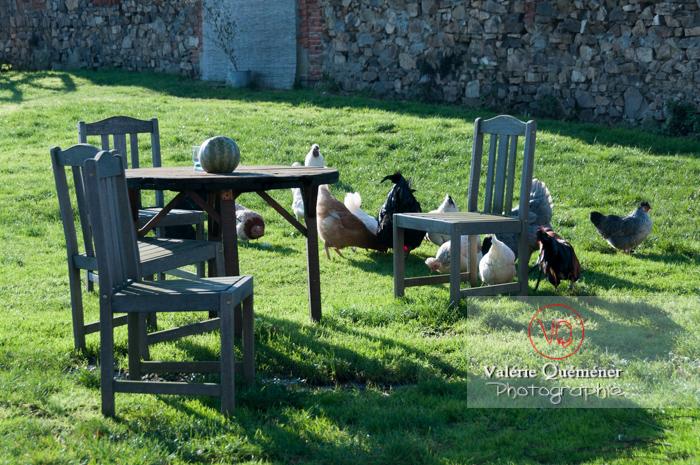 Coq & poules dans un jardin - Réf : VQA23-0066 (Q2)
