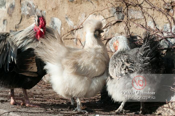 Coq faverolle & poules - Réf : VQA23-0073 (Q2)