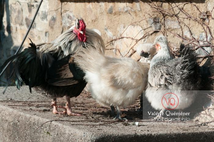 Coq faverolle & poules - Réf : VQA23-0074 (Q2)