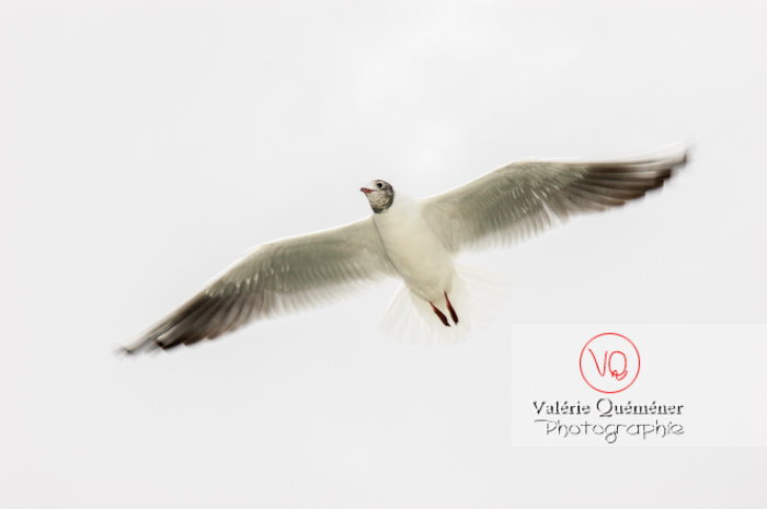 Mouette argentée - réf : VQA26-0012 (Q1)