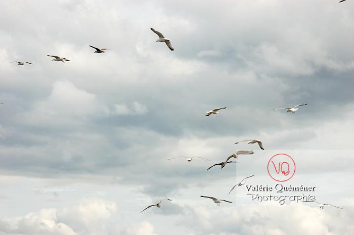 Vol de goélands argentés - Réf : VQA26-0023 (Q1)