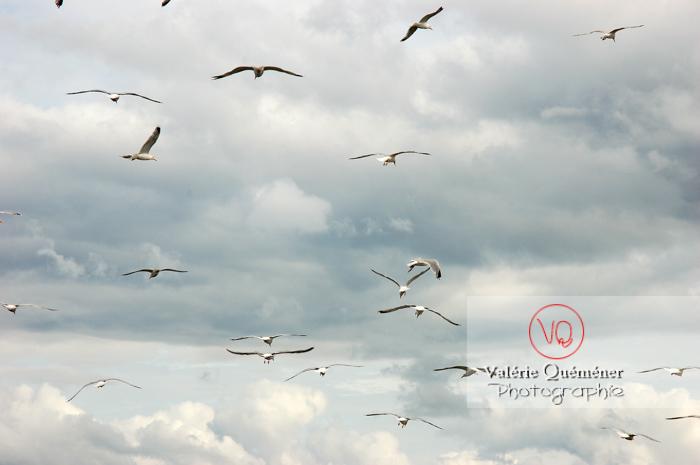 Vol de goélands argentés - Réf : VQA26-0025 (Q1)