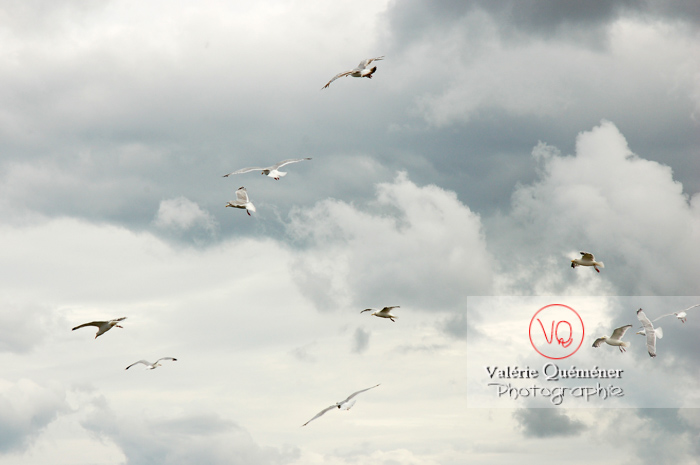 Vol de goélands argentés - Réf : VQA26-0028 (Q1)