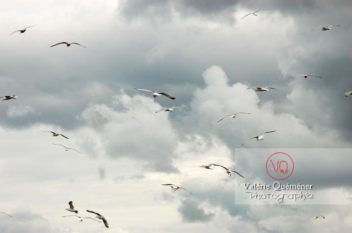 Vol de goélands argentés - Réf : VQA26-0031 (Q1)