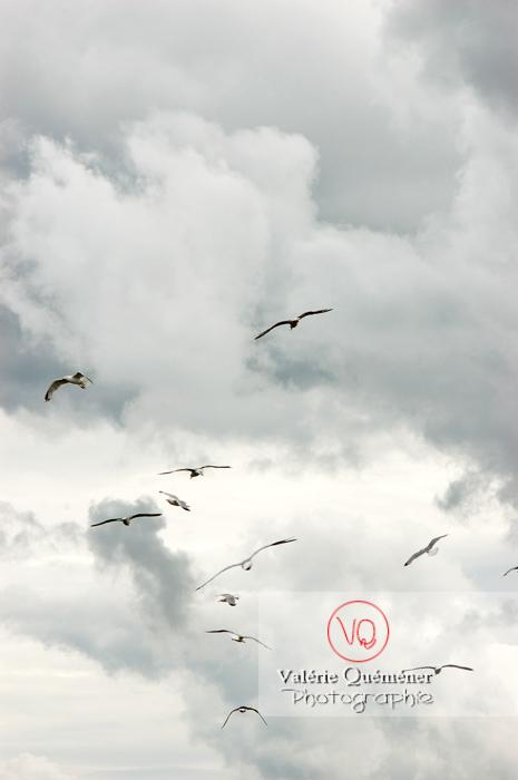 Vol de goélands argentés - Réf : VQA26-0036 (Q1)