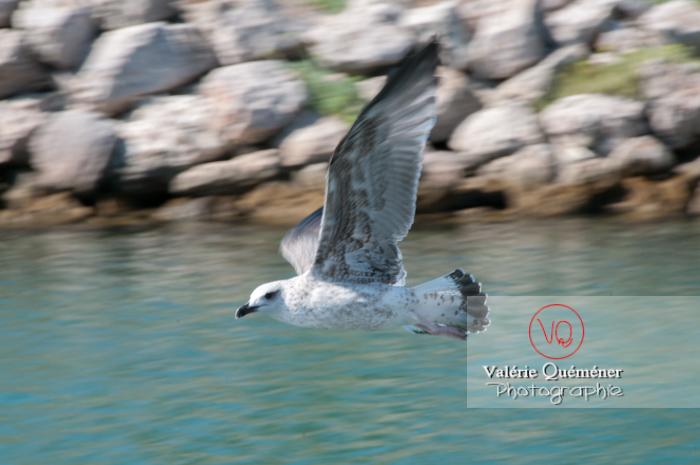 Jeune goéland argenté en vol - Réf : VQA26-0038 (Q2)