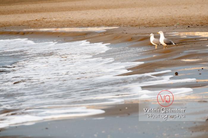 Goélands argentés au bord des vagues - Réf : VQA26-0042 (Q2)
