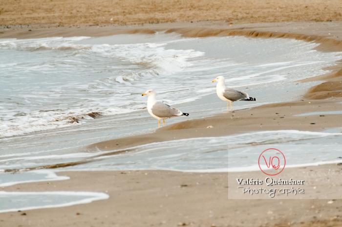 Goélands argentés au bord des vagues - Réf : VQA26-0044 (Q2)