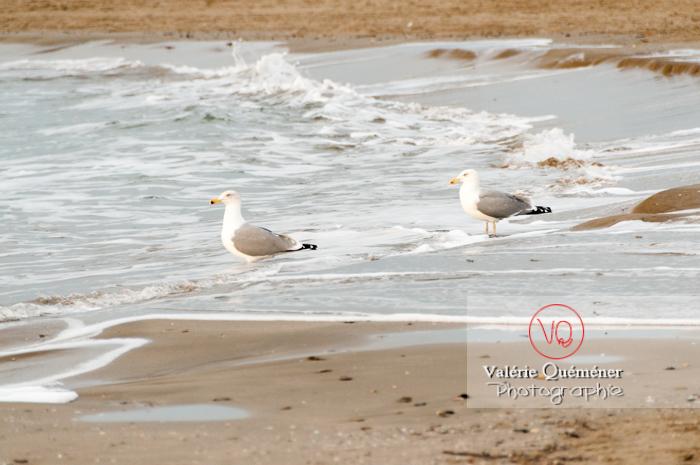 Goélands argentés au bord des vagues - Réf : VQA26-0046 (Q2)