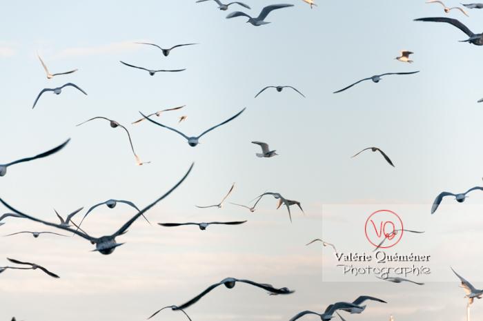 Mouettes argentées - réf : VQA26-0051 (Q2)