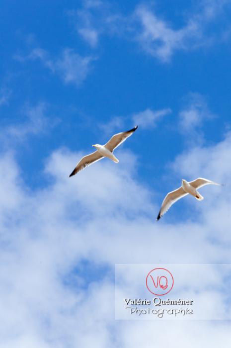 Vol de goélands argentés - Réf : VQA26-0053 (Q2)