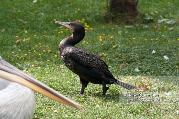 Cormoran / Zoo de Trégomeur - Réf : VQA27-0010 (Q2)