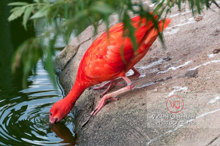 Ibis rouge / Zoo de Montpellier - Réf : VQA27-0018 (Q2)