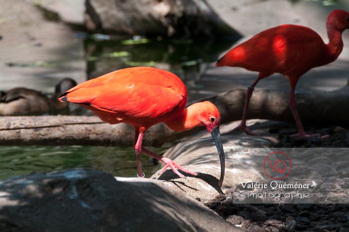 Ibis rouge / Zoo de Montpellier - Réf : VQA27-0020 (Q2)