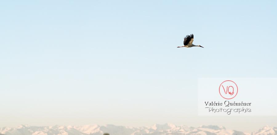 Cigogne en vol - réf : VQA27-0026-2 (Q3 rec)